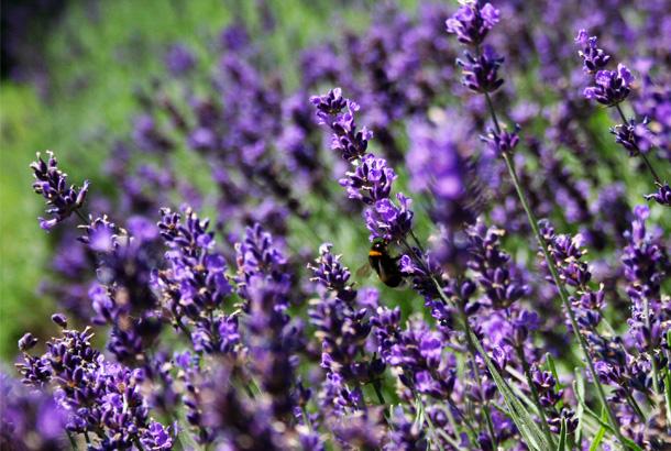 Insecticides naturels d couvrez les plantes anti - Lavande contre moustique ...